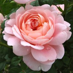 Queen of Sweden rose Beautiful Rose Flowers, Large Flowers, Queen Of Sweden Rose, David Austin Roses, Flower Aesthetic, English Roses, Flower Pictures, Planting Flowers, Photography Blogs