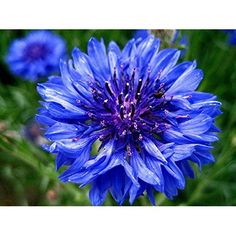 Blue Bachelor Button Seeds - Cornflower -1400 Seeds