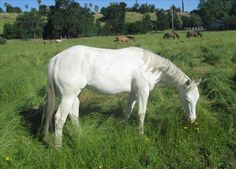 This beautiful cremello Quarter Horse could be your next barrel racer! Be sure to see her ad on Equine.com: http://www.equine.com/horses-for-sale/horse-ad-3661471.html
