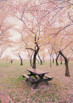 Cherry Blossom trees in Washington DC..