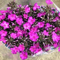 Phlox 'Miss Fiona' cerise pink. Sold in bunches of 10 stems from the Flowermonger the wholesale floral home delivery service.