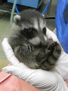 And this pocket-sized cutie. 21 Raccoons Who Will Show You What It Means To Be Cute Cute Funny Animals, Cute Baby Animals, Animals And Pets, Wild Animals, Cute Animal Photos, Funny Animal Pictures, Baby Raccoon, Racoon, Animal Memes