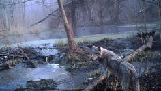 A European gray wolf on the Ukrainian side of the Chernobyl exclusion zone.
