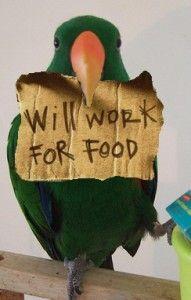 Will work for food... XD #Lovebird #Agapornis #Bird