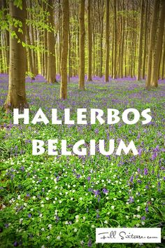 Hallerbos, The Blue Forest of Belgium, is world famous for its purple carpet of bluebells which bloom around mid-April - beginning of May. We visited Hallerbos with kids and WOW! Find out more...