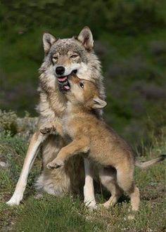 Lobezno jugando con su mamá