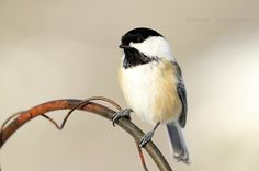 Shamik Photography ~ Devoted to the Natural Elements: #Chickadee Cuteness