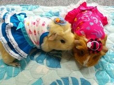 guinea pig models: Milky and Mocha. Photo credit: Kumosuke