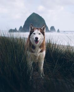 Wonderful All About The Siberian Husky Ideas. Prodigious All About The Siberian Husky Ideas. Le Husky, Alaskan Husky, Siberian Husky Puppies, Alaskan Malamute, Husky Puppy, Siberian Huskies, Baby Huskys, I Love Dogs, Cute Dogs