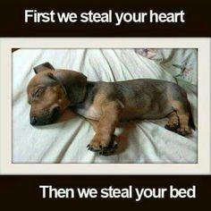 Sleeping Dashchund puppy ♡♡