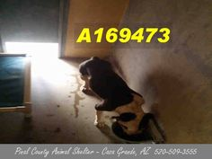***CODE RED - NEEDS COMMITMENT HOLD BY 5:30 AM PDT, SATURDAY, July 11, 2015*** A 3 year old female black and white pit bull terrier, this little lady has been posted aggressive, but seems scared. Can you foster/adopt/rescue her?