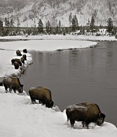Bison, Yellowstone National Park in the winter. I will go there sometime now that I live a lot closer to see this beautiful place and the abundance of wildlife. Wyoming, All Nature, Tier Fotos, Mundo Animal, Parcs, Yellowstone National Park, Visit Yellowstone, Winter Scenes, Belle Photo