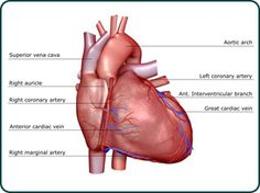"The term ""heart disease"" refers to several types of heart conditions. The most common type in the United States is coronary artery disease, which can cause heart attack, angina, heart failure, and arrhythmias. Weight Loss Secrets, Easy Weight Loss, Healthy Weight Loss, The Tell Tale Heart, Normal Heart, Heart Muscle, Disease Symptoms, Heart Conditions, Heart Failure"