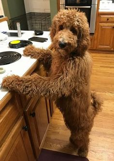 Looks exactly like my dog Lucy Goldendoodle Full Grown, Goldendoodle Grooming, Mini Goldendoodle Puppies, Goldendoodles, Labradoodles, Standard Goldendoodle, Goldendoodle Haircuts, Poodle Grooming, Cavapoo