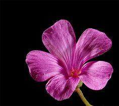 oxalis: Photo by Photographer Gregory and Verena Sava - photo.net