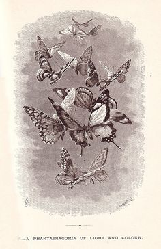 A phantasmagoria of light and colour (as interpreted in black and white). vintage Victorian illustration butterflies