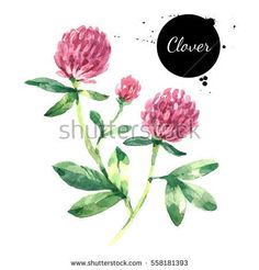 Hand drawn watercolor red clover flower illustration. Painted sketch trifolium pratense herbs botanical isolated on white background