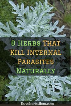 8 Herbs That Kill Internal Parasites Naturally