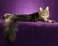 cat lies Maine Coon wallpaper background