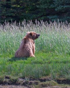 Grizzly bear taking a break in the sedge grass.  Photographed while backpacking through the Alaskan wilderness.