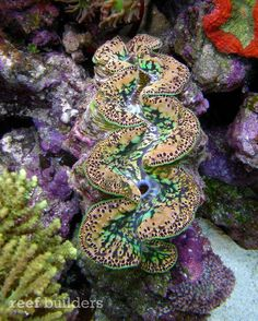 Tuamotu Maxima Clams begin to make the rounds, show off why some are being called 'Multicolor Maxima' - Reef Builders | The Reef and Marine Aquarium Blog