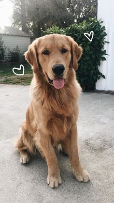 All dogs are filled with ❤️. The most beautiful Golden Retriever photos. I enjoy these lovely pet dogs. Cute Dogs And Puppies, Baby Dogs, I Love Dogs, Pet Dogs, Doggies, Corgi Puppies, Weiner Dogs, Cute Baby Animals, Animals And Pets