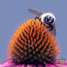 Bees in the Echinacea