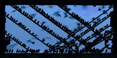 Starling Roost Motion Blur