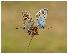 Photo A pair of Silver-studded blues in copulation,the female is on the left by John Starkey on 500px