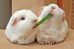 silly guinea pigs... you make me laugh
