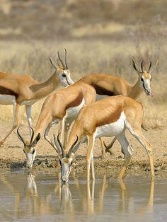 South Africa, Springboks | by Vittorio Ricci
