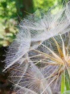 Dandelion, Flowers, Plants, Woodland Forest, Dandelions, Plant, Taraxacum Officinale, Royal Icing Flowers, Flower