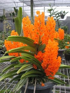 Orquídeas laranja