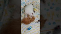 Boys Will Be Boys - Persian Kittens For Sale