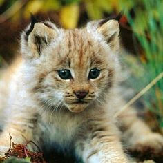 #Cats  #Cat  #Kittens  #Kitten  #Kitty  #Pets  #Pet  #Meow  #Moe  #CuteCats  #CuteCat #CuteKittens #CuteKitten #MeowMoe      Very Fierce! Rawr.. ...   https://www.meowmoe.com/46046/
