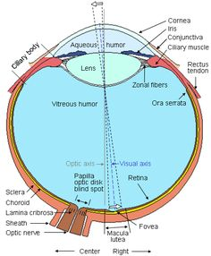 Human Eye Anatomy And Physiology Human eye seen from above Eye Anatomy Diagram, Nifty Science, Diseases Of The Eye, Eye Facts, Science Biology, Biology Facts, Human Eye, Human Skull, Vision Therapy