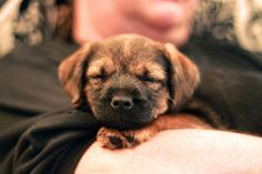 Border Terrier | A Definitive Ranking Of The Cutest Puppies