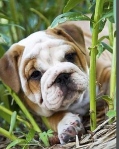 The major breeds of bulldogs are English bulldog, American bulldog, and French bulldog. The bulldog has a broad shoulder which matches with the head. Dog Training Methods, Best Dog Training, Cute Puppies, Cute Dogs, Cute Bulldogs, Baby Bulldogs, Puppy Obedience Training, Positive Dog Training, Bulldog Puppies