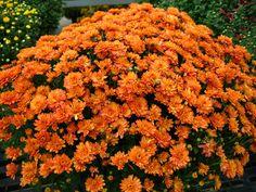 Mum 'Fancy Ursula Orange'