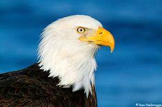 Bald Eagle - what a magnificent creature