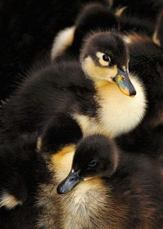 Ducklings by Bill Dodsworth on 500px.