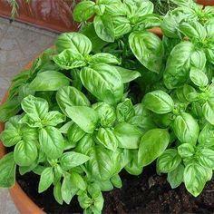 Cómo cultivar albahaca en casa de forma sencilla