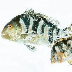 Sheepshead  nene de mamá  Gyotaku pescado por fredfisher en Etsy