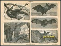 Stich Handflügler Vampir Fledermaus Hund 1890 Original