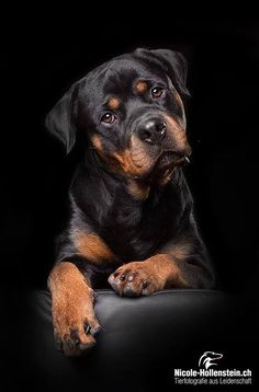 Dog Names Discover 13 Astounding Rottweilers As Gentle Giants And Family Watchdogs Ideas Rottweiler Rottweiler by Nicole Hollenstein on Rottweiler Funny, Labrador Rottweiler, Doberman, German Rottweiler, Rottweiler Dog Photos, Beagle, Puppy Obedience Training, Basic Dog Training, Dog Training Videos