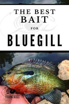 This post from FishingSkillz provides an excellent list of the best bluegill bait as well as the best bluegill lures. The article ends with the authors favorite list of the best bluegill fishing tips. Don't miss this one if you love fishing for bluegill! Trout Fishing Tips, Fishing Rigs, Crappie Fishing, Sea Fishing, Sport Fishing, Fishing Bait, Carp Fishing, Fishing Stuff, Fishing Tackle