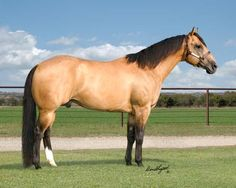 To me, one of the most beautiful animals in the whole world is a Buckskin Quarter Horse.