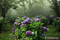 Летние цветы. Гортензии.
