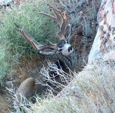 Love the velvet on this Muley!