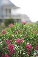 Oleander is a common hedge plant in warm areas.